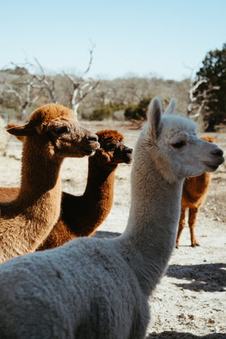 A group of Alpaca standing in a field