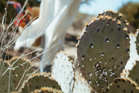 Prickly Pear Cactus with colonies of Cochineal On it