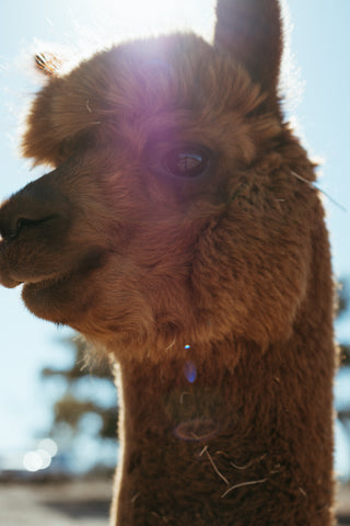 A close up portrait of an Alpaca, it has brown hair, large expressive eyes and a knowing smile