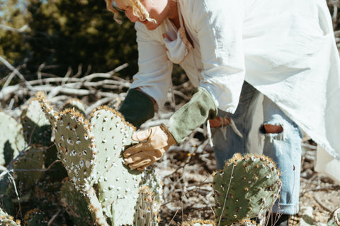 Miranda collects cochineal from Prickly Pear Cactus