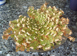 Rose of Jericho and it's Spiritual Uses