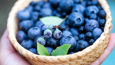 Focus on Prebiotics: Go Wild for Blueberries!