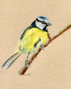 an original watercolour painting of a bluetit sitting on branch on brown paper