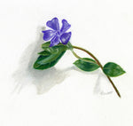 original pastel pencil drawing of a periwinkle flower on stonehenge print making paper