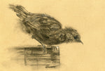 original charcoal drawing of a sparrow about to leap off the bird table drawn on brown paper