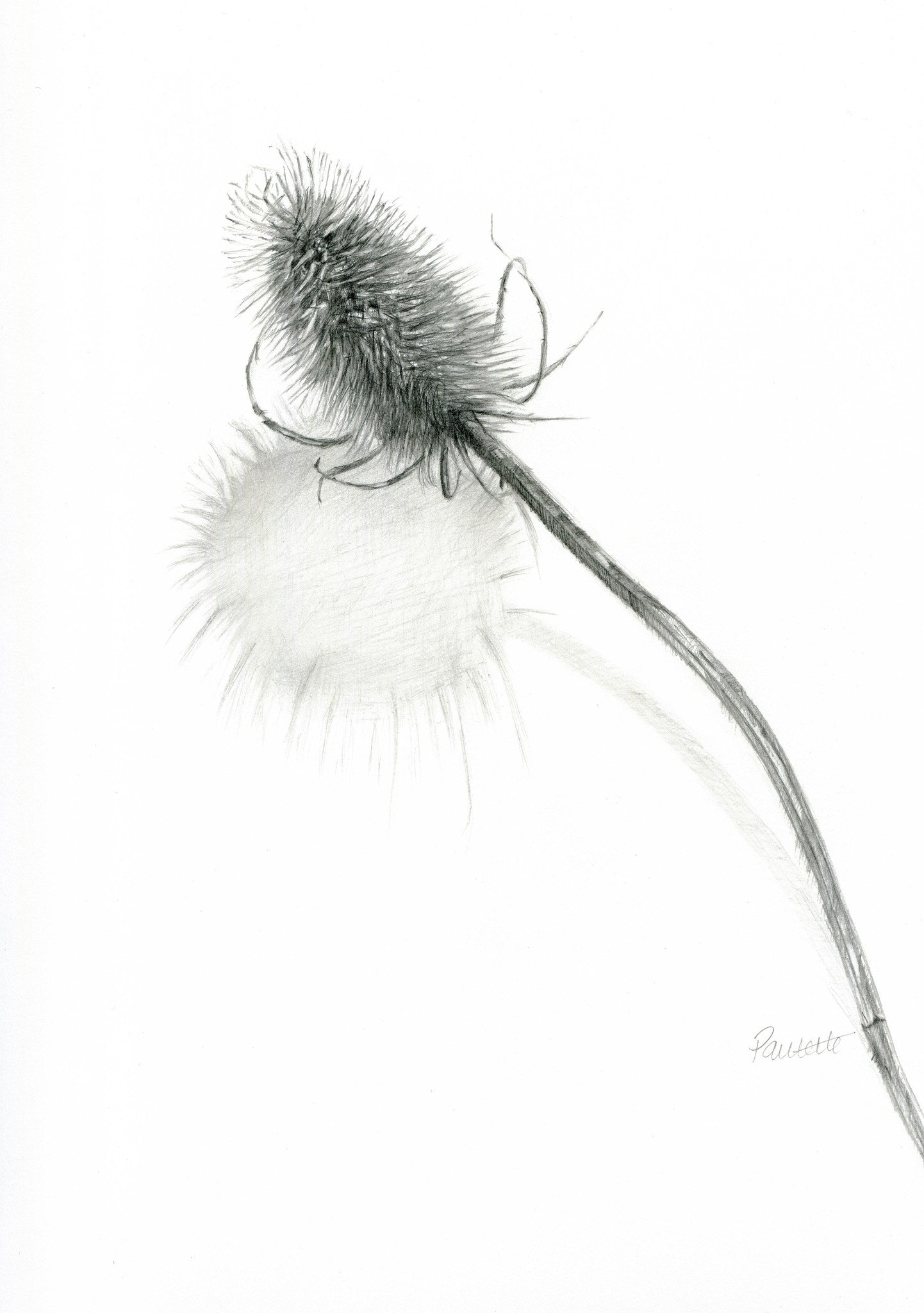 original graphite drawing of a teasel seedhead