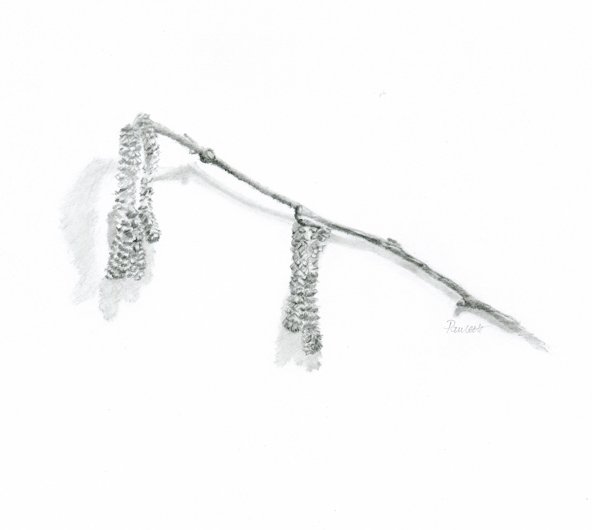 graphite pencil drawing of catkins