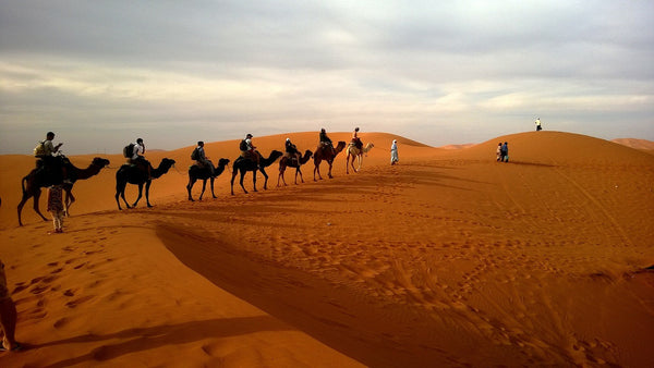 Camel herd walking in hills of soft brown sand