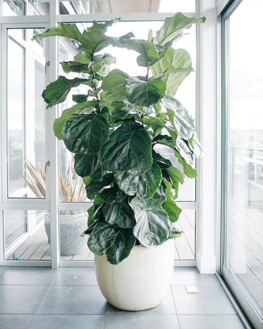 Ficus Lyrata, Or The Fiddle Leaf Fig, Has Been A Very Popular Plant Over  The Past Couple Of Years, Gracing The Rooms Of Many Beautifully Styled  Interiors.