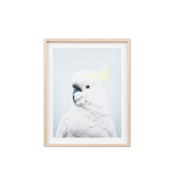 Cockatoo Blue Framed Print