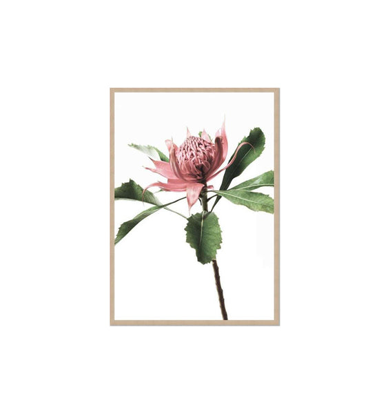 The Waratah Framed Print