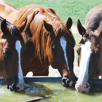 How Much Water to Horses/Ponies Need?