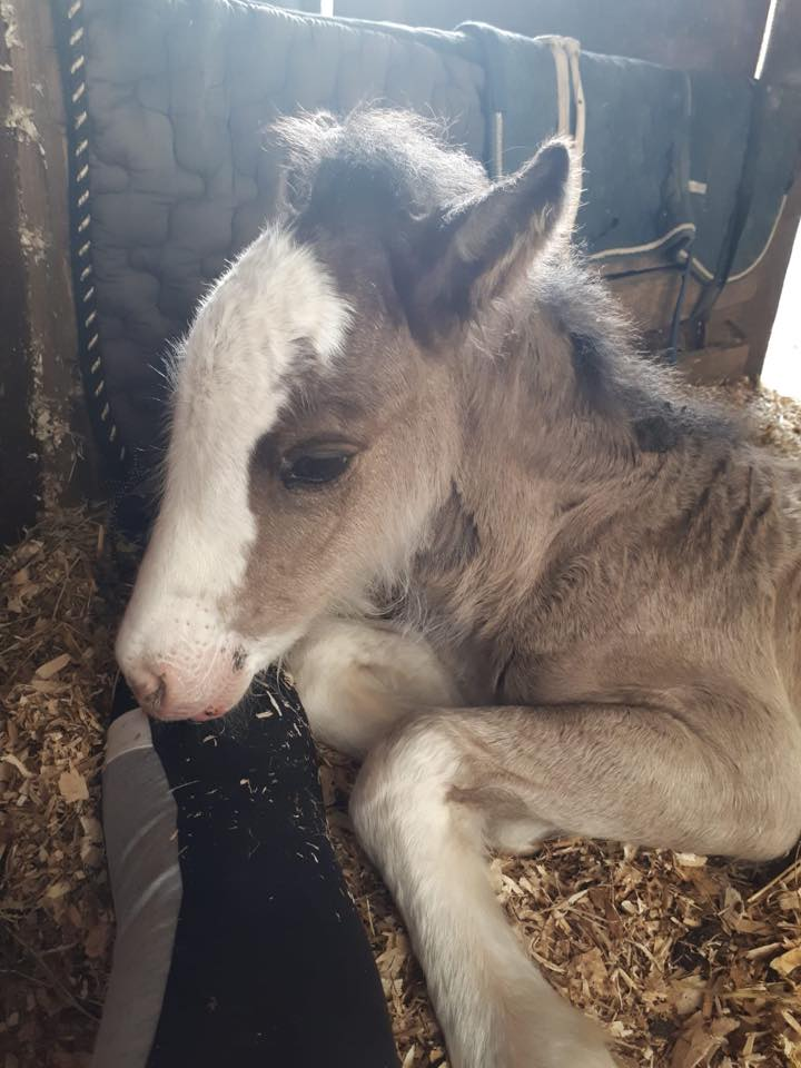 Foal Rescued by MLHR Saved by ISPCA Foster Mare