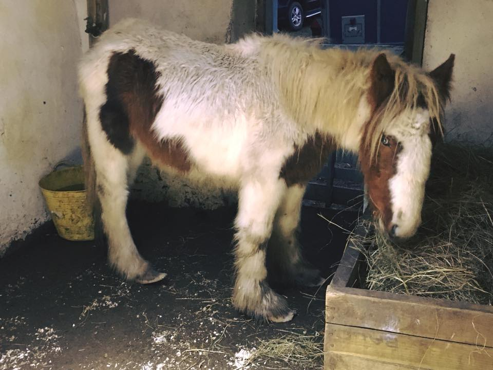Young Cob with Overgrown Hooves