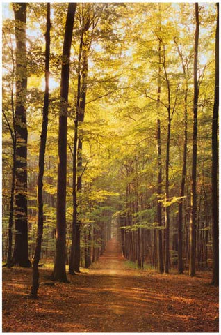 Forest Path Through Trees Poster