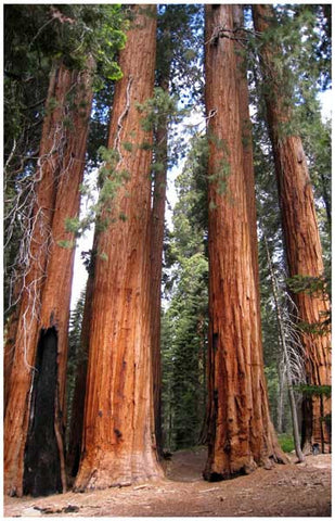 Sequoia National Park Red Wood Trees 11x17 Poster