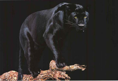 Black Panther Big Cat Poster