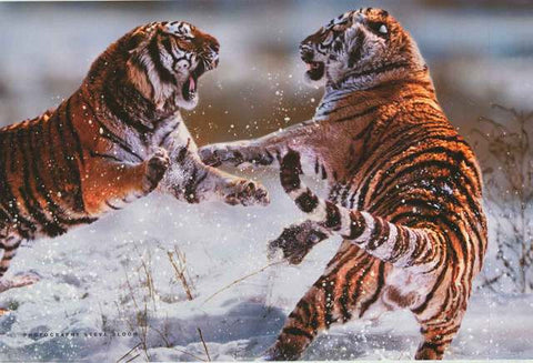 Siberian Tiger Big Cats Poster