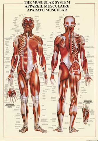 Human Muscular System Anatomy Poster