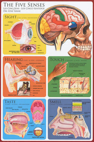 The Five Senses Anatomy Poster