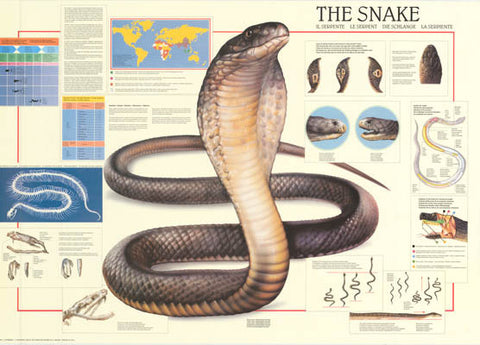 The Snake Anatomy Infographic Poster