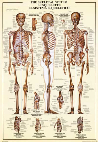 Human Skeletal System Anatomy Poster