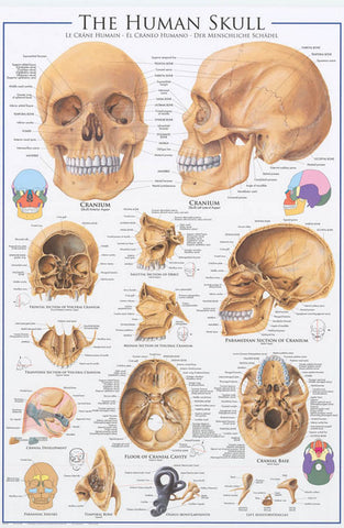 Anatomy of the Human Skull Poster
