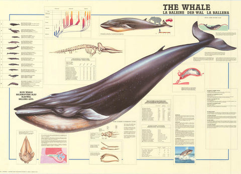 Whales Anatomy Infographic Poster