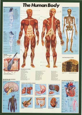 Human Body Anatomy Infographic Poster