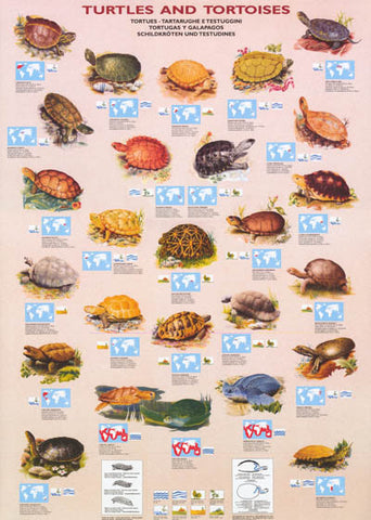 Turtles and Tortoises Infographic Poster