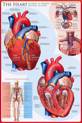 Anatomy of the Heart Infographic Poster