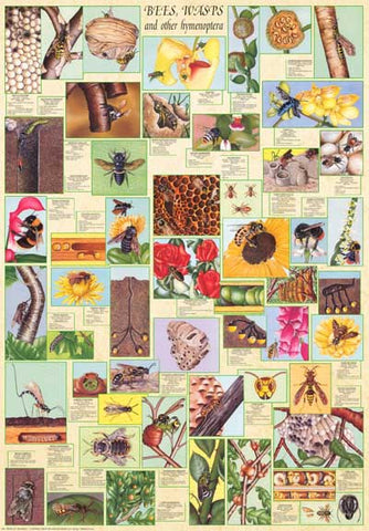 Bees and Wasps Insects Entomology 27x39 Poster