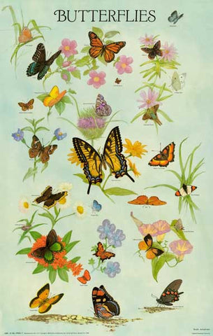 Butterflies Insect Infographic Poster