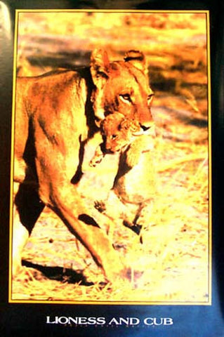 Lioness Carrying Lion Cub Poster