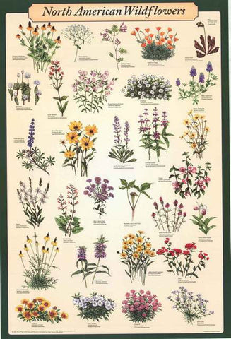 North American Wildflowers Infographic Poster