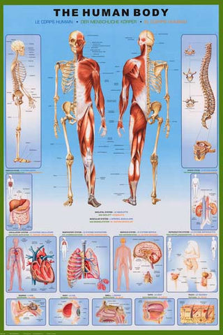 Human Body Anatomy Diagram Poster