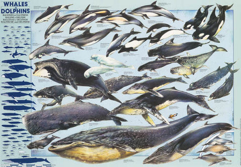 Whales and Dolphins Poster