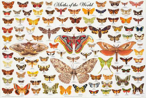 Moths Lepidoptera Education Poster