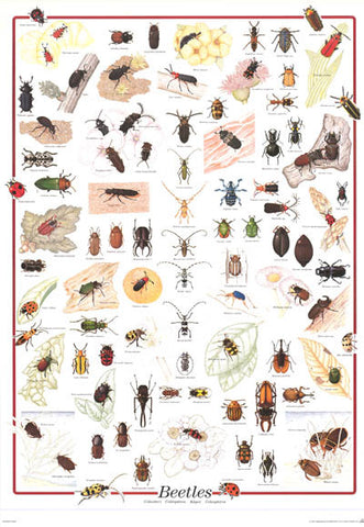 Beetles Coleoptera Infographic Poster