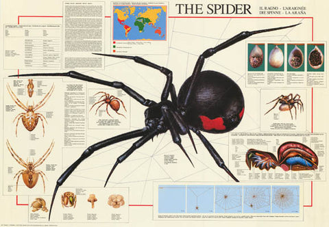 Spiders Arachnid Infographic Poster