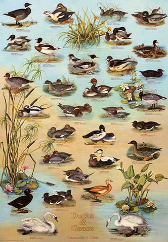 Ducks and Geese Waterfowl Poster