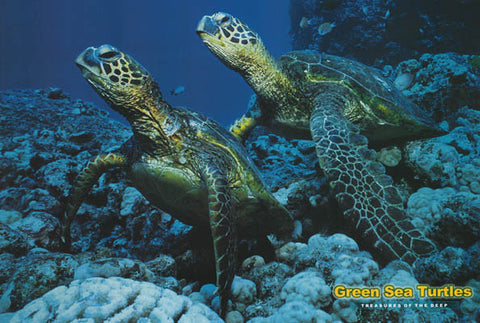 Green Sea Turtles Poster