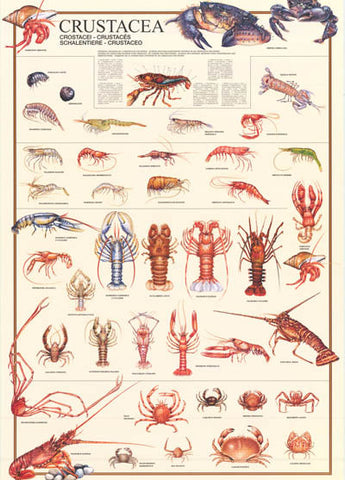 Crustaceans Shrimp Lobster Crab Types 27x38 Poster