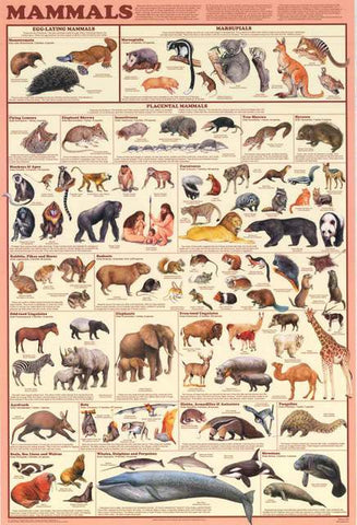 Mammals Animal Infographic Poster