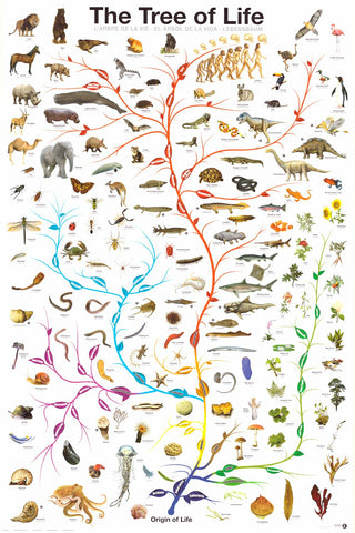 Tree of Life Amoeba to Man Evolution Poster