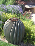 "Desert Steel Fish Hook Barrel Cactus w/ Flowers - 23""H x 20""W"