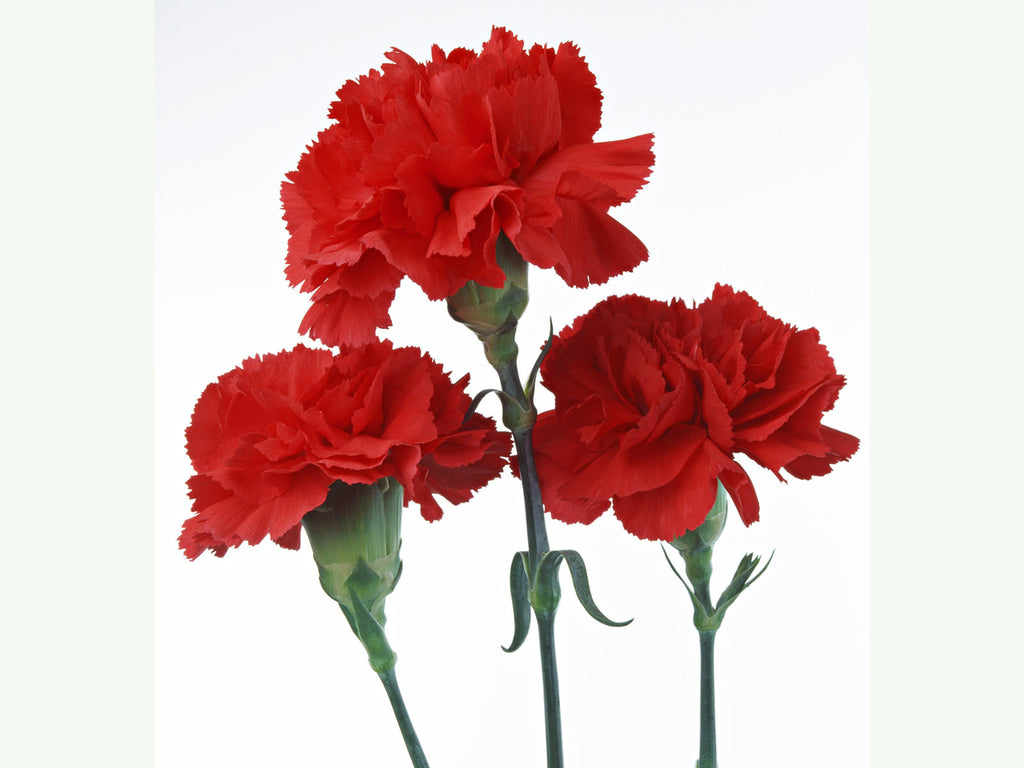3 Carnations Wrapped in Cellophane