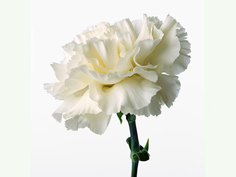 Single Carnation Wrapped in Cellophane