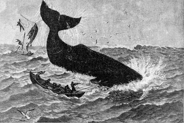 Sperm Whale Ambergris