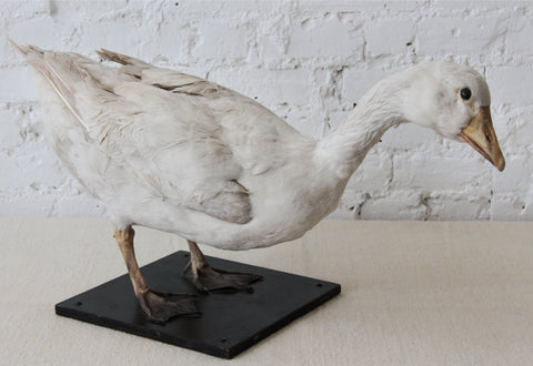 Taxidermy Goose